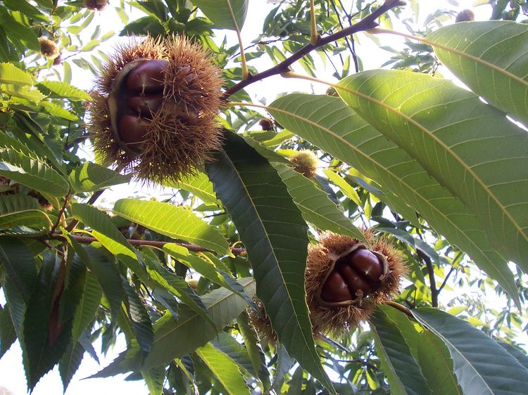 History of Chestnuts